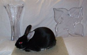 show quality black silver marten rabbit