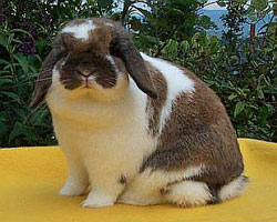 Belle -- broken pattern holland lop doe