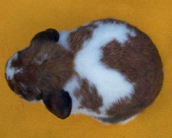 top view holland lop good width of body