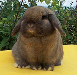 tort holland lop looking at you-boris