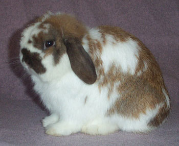 Cutie Holland Lop Buck - Crazy Horse