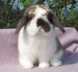 posed junior quality holland lop front view