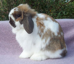 posed junior quality holland lop in profile