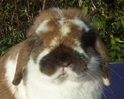funny holland lop expression