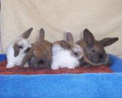cute baby holland lop litter