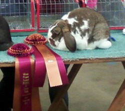 show winning   mini lop with awards