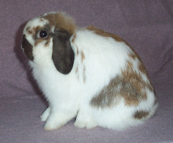 broken tort holland lop - hope