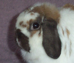holland lop head photo from the side
