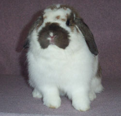 sweet bunny rabbit holland lop