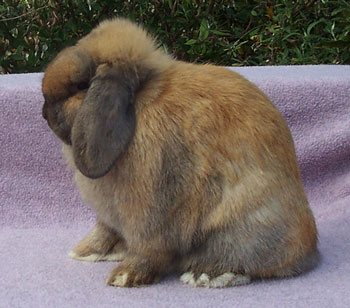very cute tortoiseshell holland lop doe with big crown - Jocasta