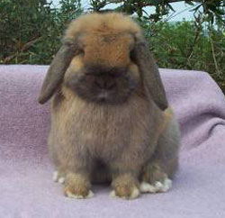 Jocasta- front view of posed Holland Lop rabbit