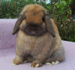 Jocasta - extremely cute Holland Lop Rabbit posed