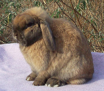 Jo-Jo - pretty Holland Lop Rabbit Doe