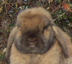 Jo-Jo Holland Lop Face