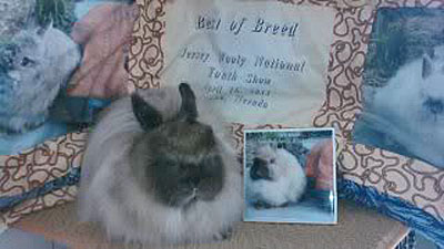 Grand champion sable jersey wooly with award