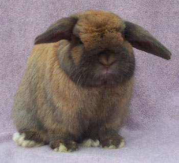 big fat funny faced massive Holland Lop Buck