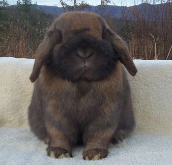 molting holland lop rabbit