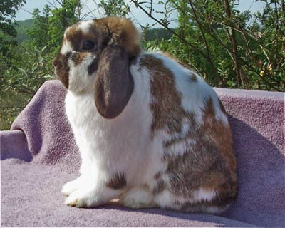 Nice Quality broken holland lop buck- Lex