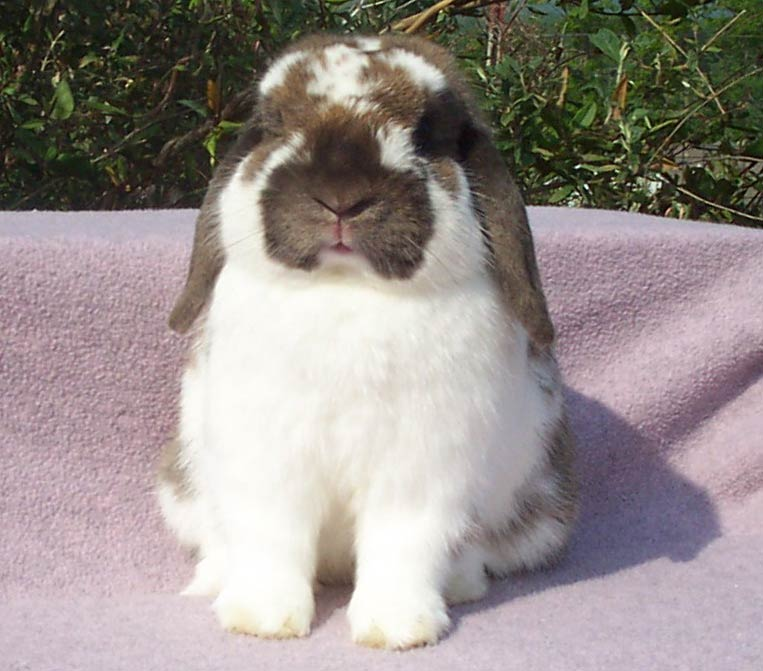 super cute holland lop bunny