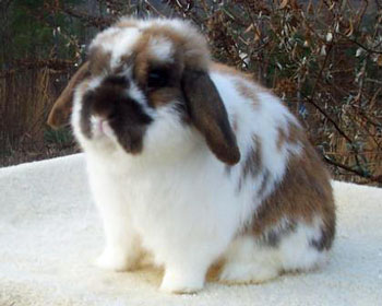 very cute holland lop
