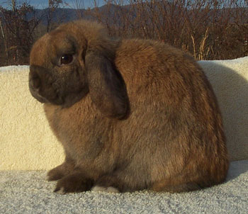 attractive holland lop doe - millicent