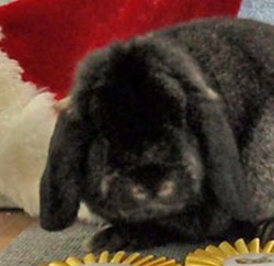 mini lop rabbit head