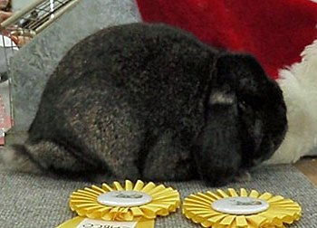 black gold tipped steel mini lop rabbit