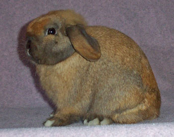 grand champion excellent holland lop buck- quality