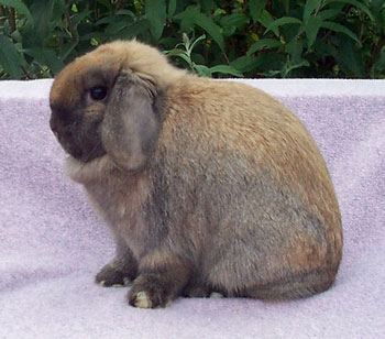 Padme-quality champion holland lop doe