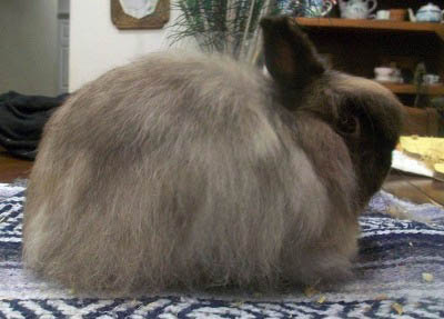 siamese sable jersey wooly rabbit