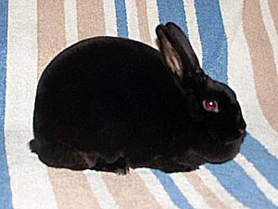 high quality black mini rex rabbit
