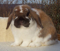 front view holland lop good width of body