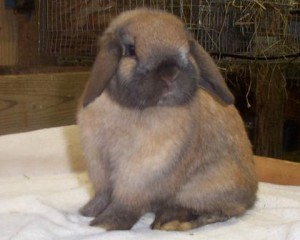 Adorable holland lop bunny poses