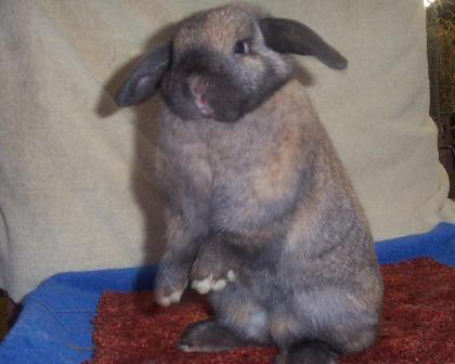 Holland Lop doe - Celeste