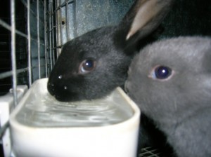 Cute baby bunnies water bowl blue black big ears up ears adorable