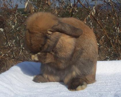 Holland Lop Sneezing