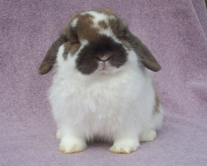 holland lop rabbit making funny face