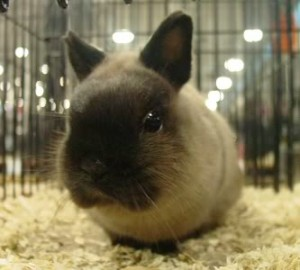 Netherland Dwarf siamese sable, tiny, cute, adorable, bunny, rabbit, itty bitty