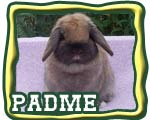 The Nature Trail's padme - Quality Holland lop doe