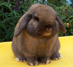 holland lop rabbit with successful show record