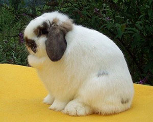 False charlie cute lop rabbit