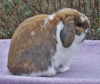 holland lop with the dwarfing gene