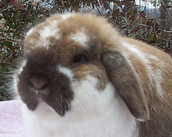 mature holland lop bunny buck