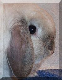Holland Lop Ears with Good crown