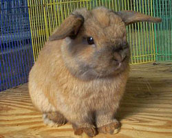 Holland Lop Ears with Good Substance