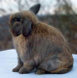 junior holland lop with very cute tight crown