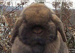 rabbit with good shape to head - Holland Lop