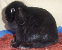 black holland lop doe
