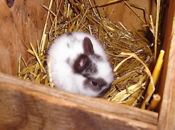 cute baby polish bunny in nestbox