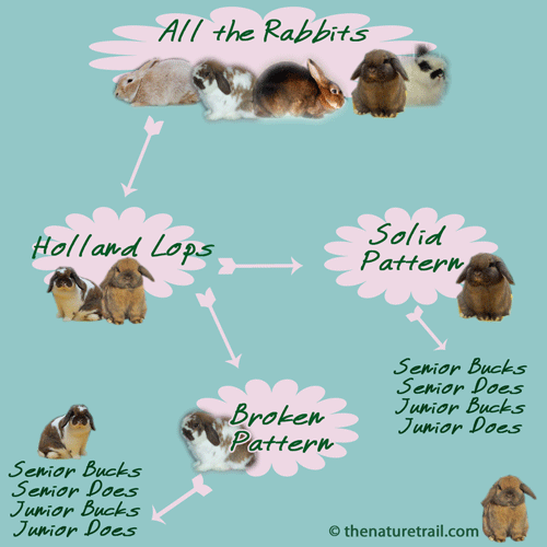 How to show holland lop rabbits diagram